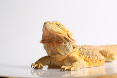 Bearded Dragon. Juvenile Bearded Dragon on white background Royalty Free Stock Photo