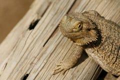 Bearded Dragon. Portrait of a bearded dragon Royalty Free Stock Photos