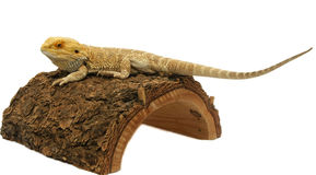 Bearded dragon. Isolated on white Royalty Free Stock Image