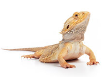 Bearded dragon. (pogona vitticeps) isolated on white background royalty free stock images
