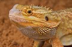 Bearded dragon. The bearded dragon is one of the most popular pet lizards in the world,available in a stunning array of colors Royalty Free Stock Photography