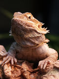 Bearded dragon Stock Images