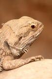Bearded Dragon Royalty Free Stock Image