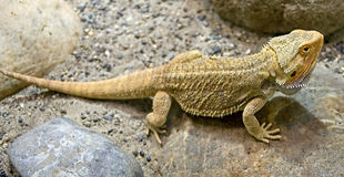 Bearded dragon 13 Royalty Free Stock Images