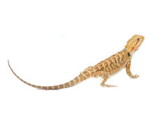 Bearded Dragon. Juvenile Bearded Dragon Pet. (Pogona stock image