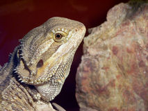 Bearded Dragon. A lizard(bearded dragon Royalty Free Stock Photos