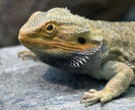 Bearded dragon 14 Royalty Free Stock Photo