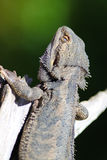 Bearded Dragon Royalty Free Stock Photography