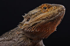 Bearded dragon. The bearded dragon,Pogona vitticeps, is a medium sized desert dwelling lizard from central Australia. This lizard has become hugely popular in Royalty Free Stock Photo