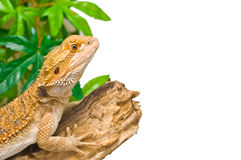 Bearded Dragon. An image of a juvenile male citrus x sandfire bearded dragon (Pogona vitticeps stock photography