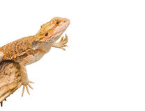Bearded dragon. An isolated image of a bearded dragon in an unusual position royalty free stock images