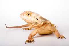 Bearded Dragon. Isolated against a white backdrop stock photography