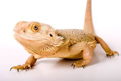 Bearded Dragon. Isolated against a white backdrop stock photos