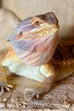 Bearded Dragon. (Pogona vitticeps) in a desert environment Royalty Free Stock Images