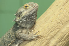 Bearded Dragon. On log at the Reston Zoo Stock Image