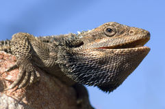 Bearded Dragon. Australian Bearded Dragon sitting on rock stock images