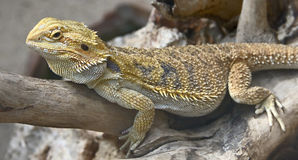 Bearded dragon 17. Bearded dragon. Latin name - Amphibolurus vitticeps royalty free stock photos
