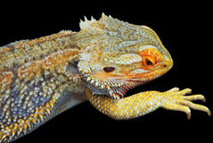 Bearded Dragon. Close up of one Central Bearded Dragon - Pogona Vitticeps - on black background royalty free stock photo