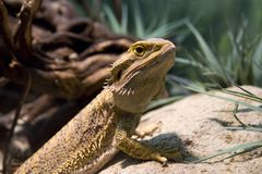 Bearded dragon. On a sand dune Stock Images