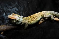 Free Bearded Dragon Stock Image - 17868851