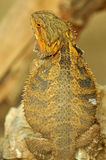 Bearded dragon Royalty Free Stock Images