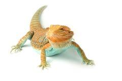 Bearded Dragon Stock Photos