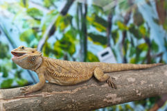 Bearded dragon. Sitting on a branch royalty free stock photography