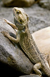 Bearded dragon 2. Bearded dragon. Latin name - Amphibolurus vitticeps stock image