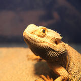 Bearded dragon. In the zoo Stock Images
