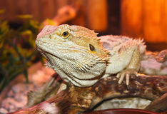 Bearded Dragon. Close up of a bearded dragon Royalty Free Stock Image