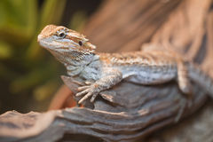 Bearded dragon. On the wood stock photos