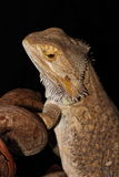 Bearded dragon. A male Bearded dragon with black background Royalty Free Stock Photo