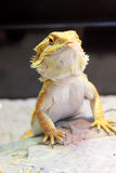 Bearded Dragon. In the Cage royalty free stock photography