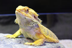 Bearded Dragon. In the Cage stock photography