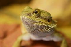 Bearded Dragon. A closeup of a bearded dragon's (or Pogona's) head Stock Photo