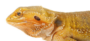 Bearded Dragon. Side profile of a bearded dragon Stock Photography