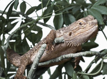 Bearded Dragon. Climbing on a plant Stock Images
