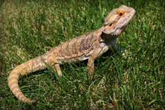 Bearded Dragon. In the grass royalty free stock photography
