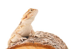Bearded Dragon. On Wood Against White Background stock photos