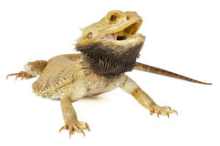 Bearded Dragon. On a white background royalty free stock photos