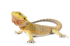 Bearded Dragon. On white background stock photos