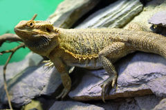 Bearded Dragon. This is photo of Bearded Dragon stock photo