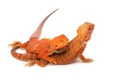 Bearded Dragon. The desert dragon Royalty Free Stock Photography