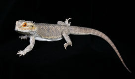 Bearded Dragon. Lizard on black royalty free stock images