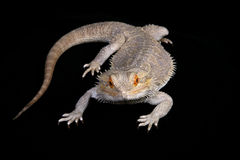 Bearded Dragon. Lizard front view stock image