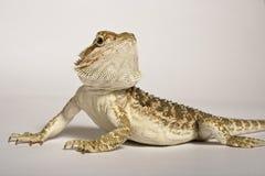 Bearded Dragon. Lizard called Bearded Dragon from Australia Stock Photo