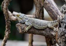 Free Bearded Dragon Stock Photos - 37452183