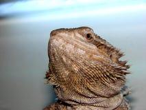 Bearded Dragon. Close up shot of a male bearded dragon Stock Photo