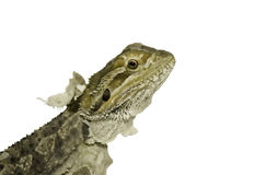 Bearded Dragon. Young bearded dragon in middle of a skin shed royalty free stock photos