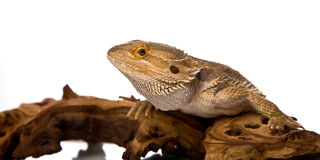 Bearded Dragon. On a piece of wood, in front of a white background royalty free stock image